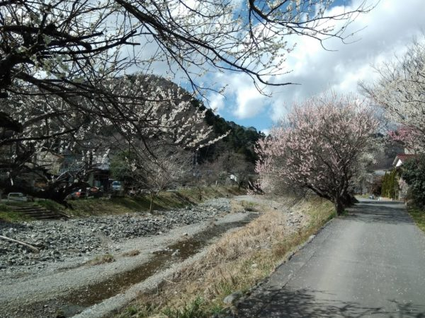 高尾梅郷の梅