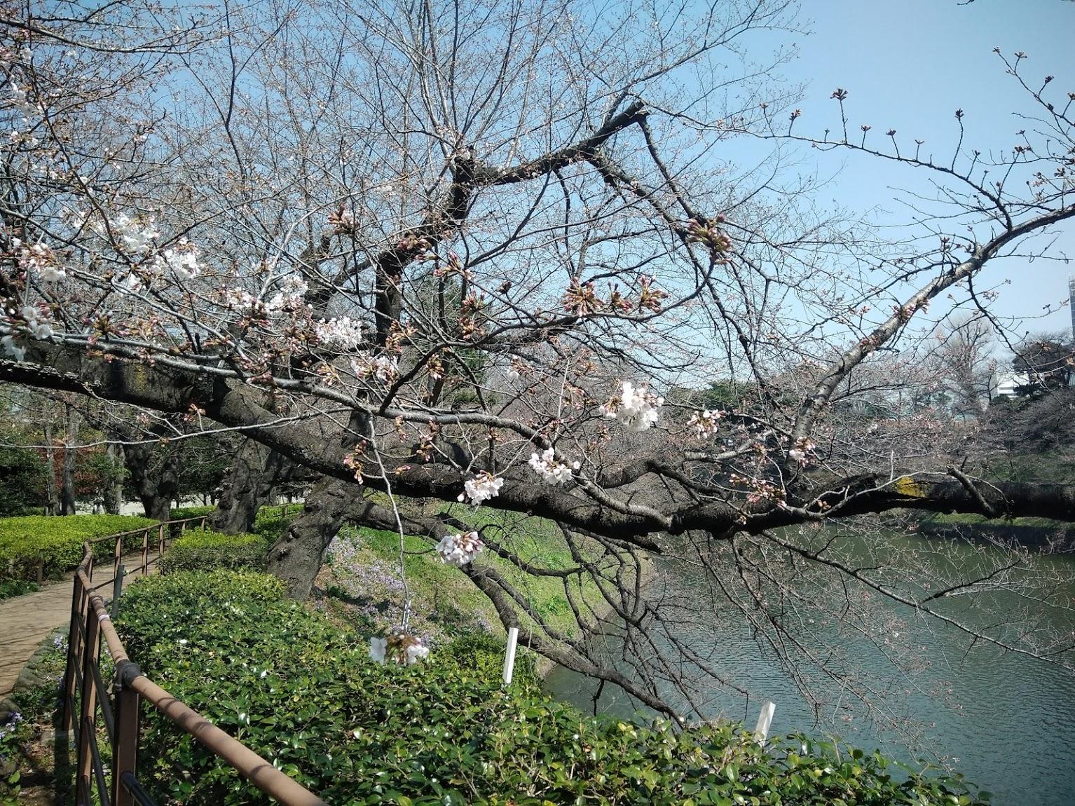 2020桜を求めて千鳥ヶ淵