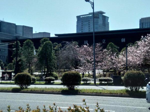 国立劇場と桜