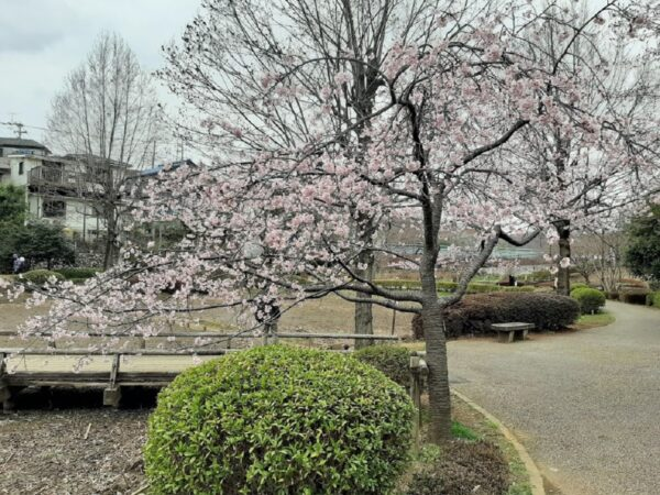 「薬師池公園」の桜
